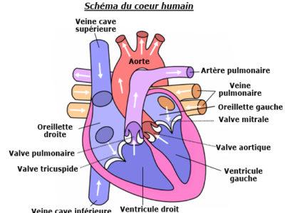 schema_coeur